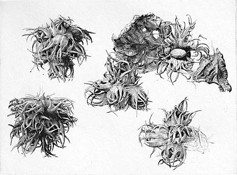 Fruit of the Hazel-Nut Tree - JAKOB DEMUS - diamond-drypoint