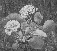 Primula in the Moss (Primula in het Mos) -  VAN HOYTEMA
