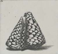 Two Rembrandt Shells -  DEMUS