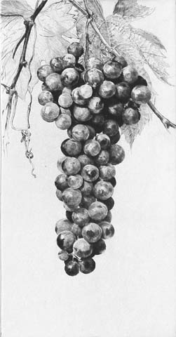 Bunch of Grapes - JAKOB DEMUS - diamond-drypoint