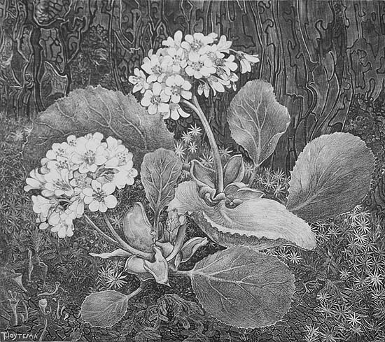 Primula in the Moss (Primula in het Mos) - THEO VAN HOYTEMA - lithograph