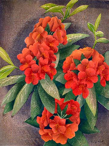 Rhododendron - LUIGI RIST - woodcut printed in colors